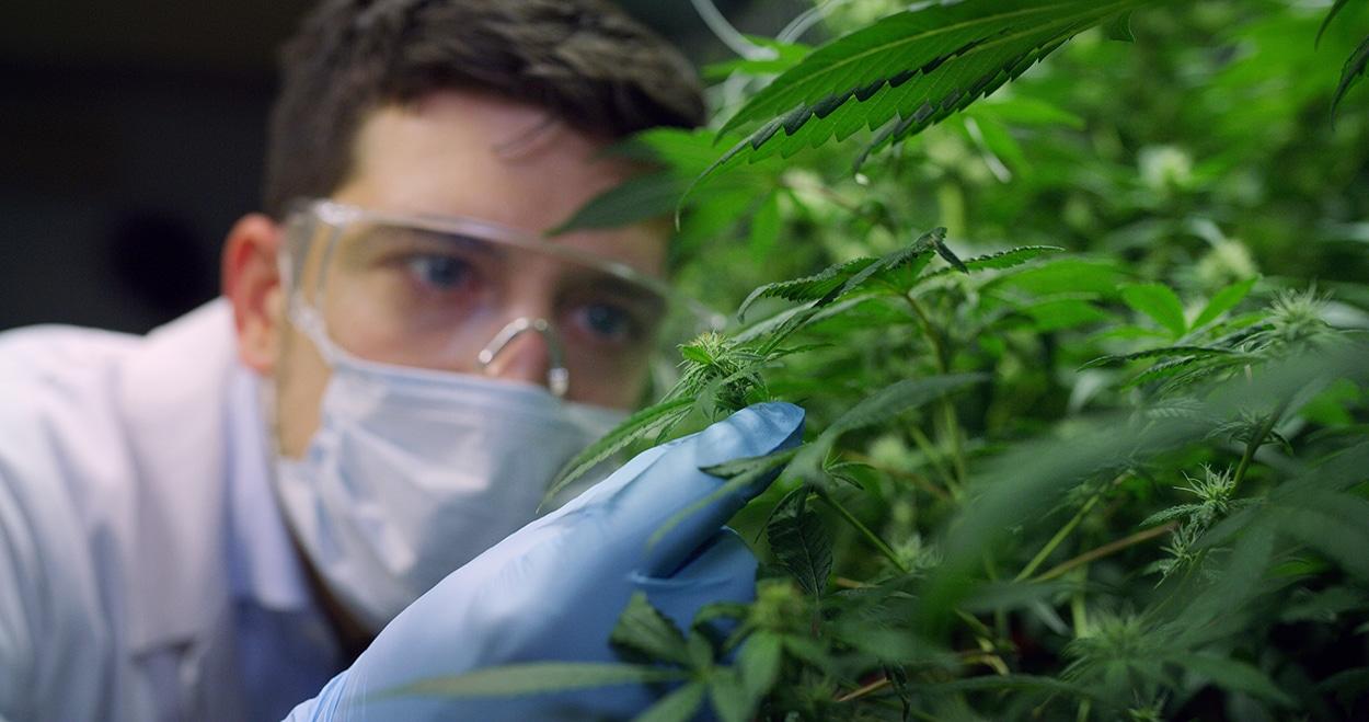 Cannabis inspection